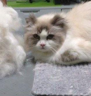 Fell entfernen bei Katzen